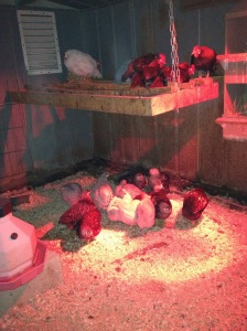 New Chicks are mingling with everyone else. At night they still cuddle under the heat lamp.